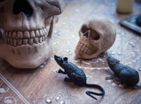 two halloween skulls, one larger and one smaller, sit on a table next to 2 rubber rats - BLOG
